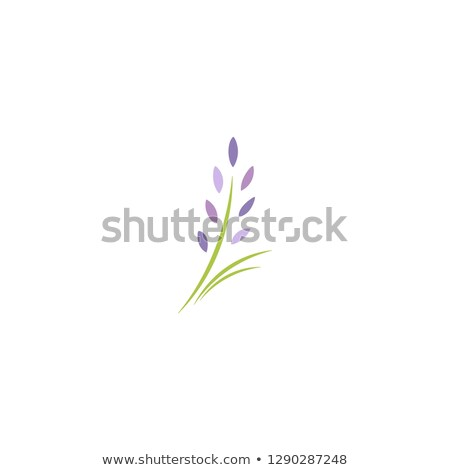 Lavendel Blumen grünen Stengel Illustration Blume Stock foto © colematt