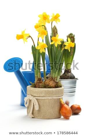 two pots with young spring flowers and blue watering can over white with copy space stock photo © melnyk