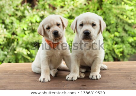 labrador · szczeniak · psa · posiedzenia · patrząc · kamery - zdjęcia stock © ilona75