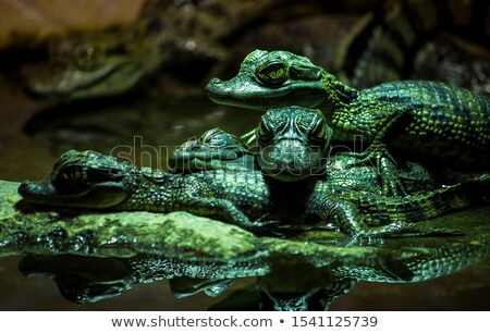 Beautiful caiman crocodile Stock photo © olira