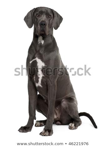 Two grey great Dane dogs stock photo © eriklam