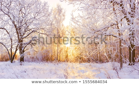 winter snow forest stock photo © sahua