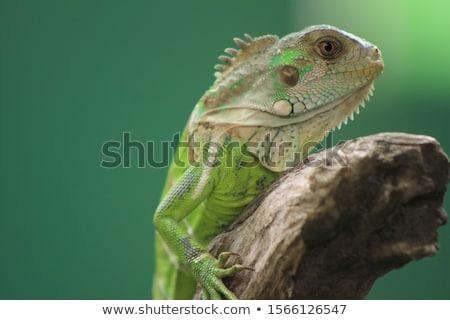 Foto stock: Lagarto · ramo · colorido · secar · isolado · branco