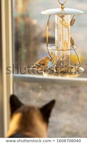 Cat watching bird on feeder Stock photo © backyardproductions