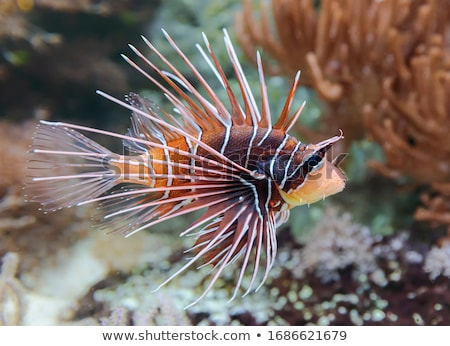 Pterois radiata Stock photo © cookelma