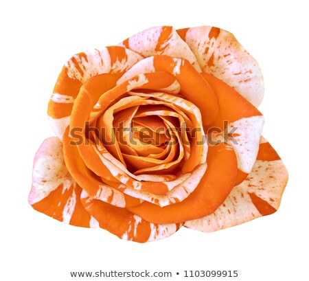 oeange rose stock photo © neirfy