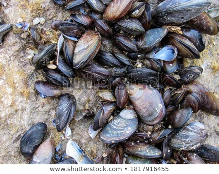 Mussels on the rocks Stock photo © 3523studio