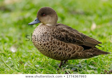 Teal Duck Stock photo © chris2766