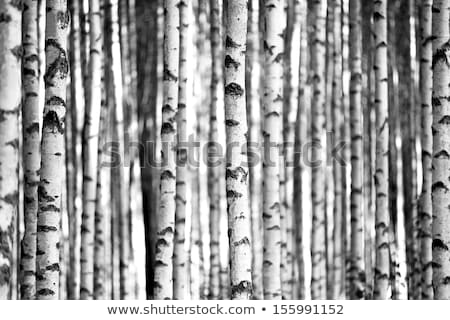Beyaz huş ağacı ağaç Stok fotoğraf © njnightsky