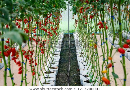 yalıtılmış · ıslak · domates · damla · yeşil - stok fotoğraf © tilo