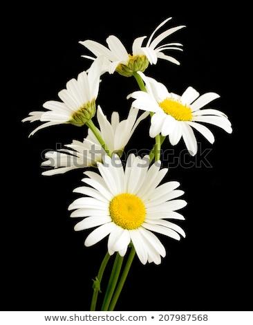 Margarida florescer isolado preto dois primavera Foto stock © Zhukow