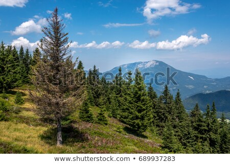 Dying pine tree Stock photo © vavlt