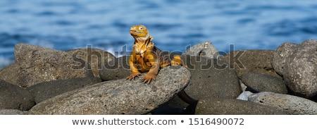 土地 · イグアナ · 自然 · トカゲ · スケール · ファウナ - ストックフォト © sarahdoow
