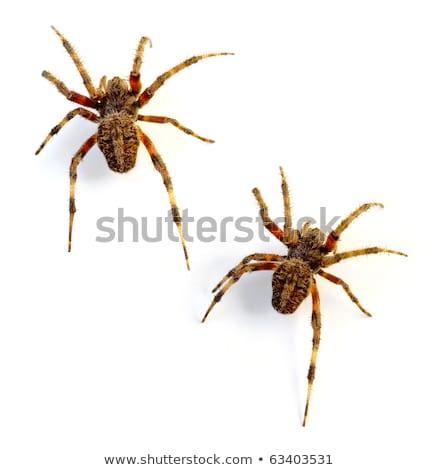 Striped Orb Weaver Spider Stock photo © rhamm