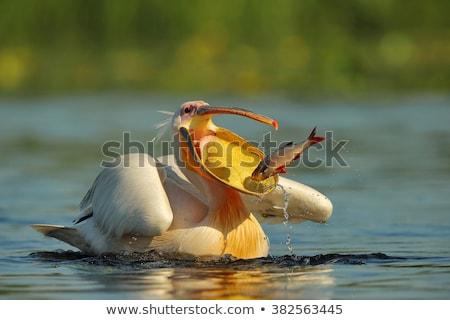 Flying · белый · озеро · Африка - Сток-фото © ajn