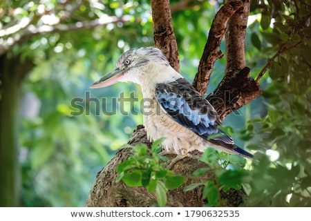 Blue Winged Kookaburra Close Up Stock photo © bradleyvdw