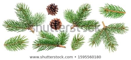 Evergreen branch Stock photo © nialat