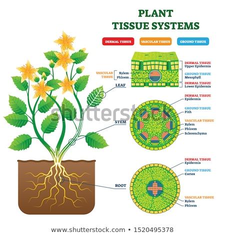 célula · estrutura · componentes · madeira · folha - foto stock © alexonline