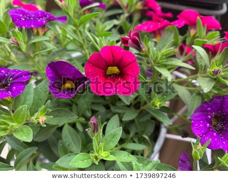 Purple petunia with drops Stock photo © Anettphoto