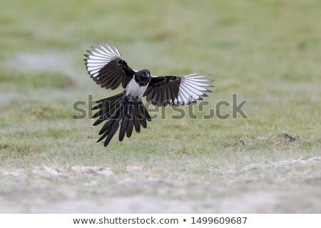 eurasian magpie stock photo © cynoclub