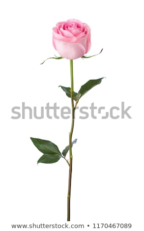 close up of single pink rose and leaves stock photo © jenbray