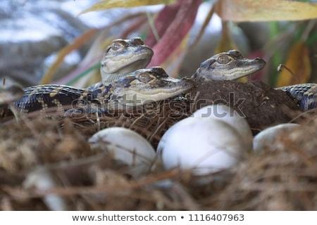 Retrato cocodrilo naturaleza agua ojo piel Foto stock © OleksandrO
