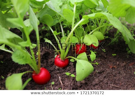 Stock photo: Radish Plants