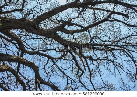 Desfolhada árvores blue sky abstrato árvore madeira Foto stock © ivanhor