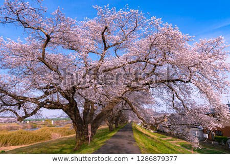 blossoming cherry trees on a river pathway stock photo © relu1907