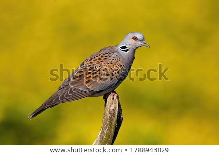 Turtle Dove Stock photo © chris2766