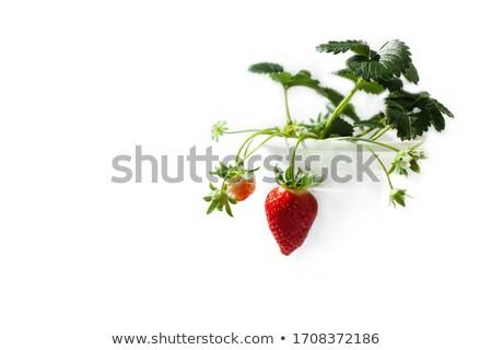 fraise · semis · croissant · domaine · printemps - photo stock © olandsfokus