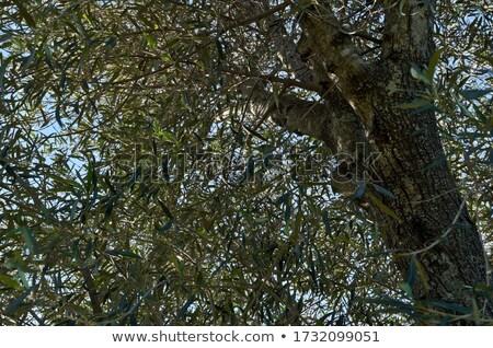 新鮮な オリーブオイル 地中海 農村 葉 ガラス ストックフォト © JanPietruszka