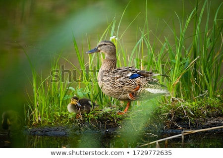 Duck with the duckling in the pond. Stock photo © vapi