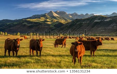 Bruin vee bergen Stockfoto © meinzahn