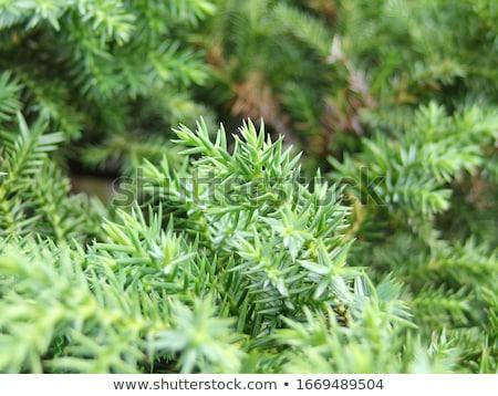 Tiro bonsai bokeh naturaleza hoja Foto stock © teerawit