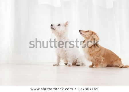 two west highland white terrier sitting in a white studio floor stock photo © vauvau