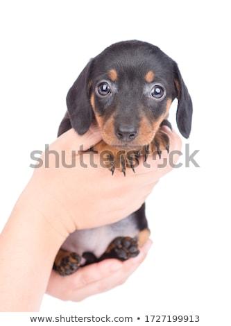 dachshund · retrato · blanco · estudio · agradable - foto stock © vauvau