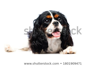 cute puppy Cavalier King Charles Spaniel lying and looking sideways in a white studio Stock photo © vauvau