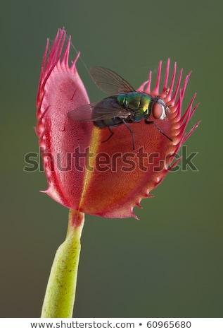 carnívoro · plantas · brilhante · preto · de · volta - foto stock © klinker
