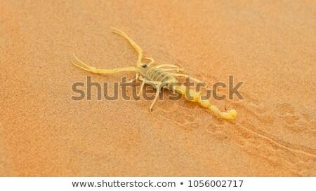 Arabian Scorpion Stock photo © zambezi