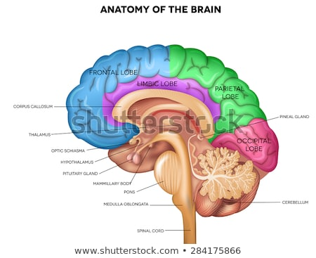 Human brain detailed anatomy  stock photo © Tefi