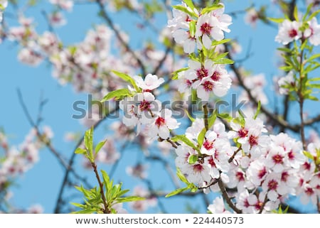 Almond blossom, blooming almond tree in March Stock photo © szabiphotography