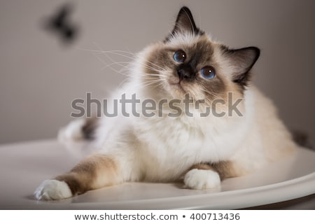 beautiful birma cat isolated on white Stock photo © svetography