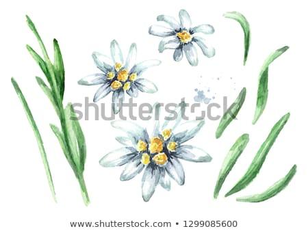 flor · símbolo · alpes · montanha · montanhas · natureza - foto stock © stefanoventuri