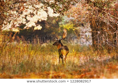 fallow deer buck in beautiful autumn forest setting Stock photo © taviphoto