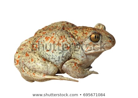 beautiful colored garlic toad Stock photo © taviphoto