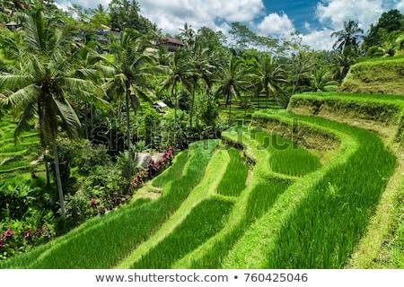 Green cascade rice field plantation at Tegalalang terrace. Bali, Indonesia Stock photo © galitskaya