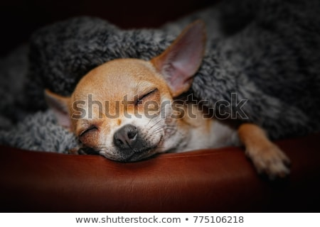 Stock photo: puppy chihuahua at school