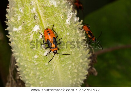 Milkweed bug Stock photo © njnightsky