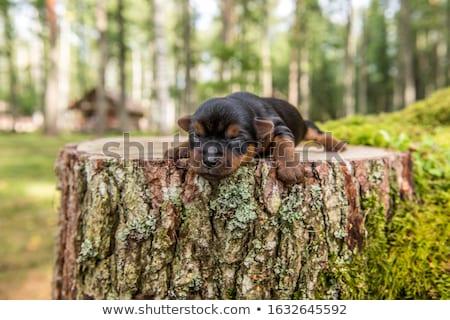 Retrato ciego yorkshire terrier aislado Foto stock © vauvau
